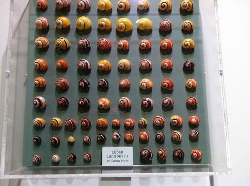 Polymita picta color variation (Harvard Museum)