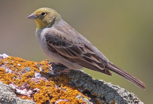 Cinereous Bunting (Emberiza cineracea) Photo copyright Mark S Jobling.