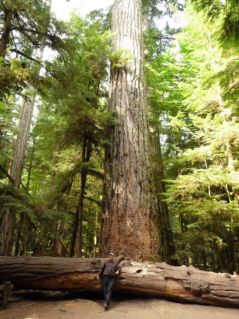 A Douglas Fir with human for scale (photographed by zoopenguinwatcher)