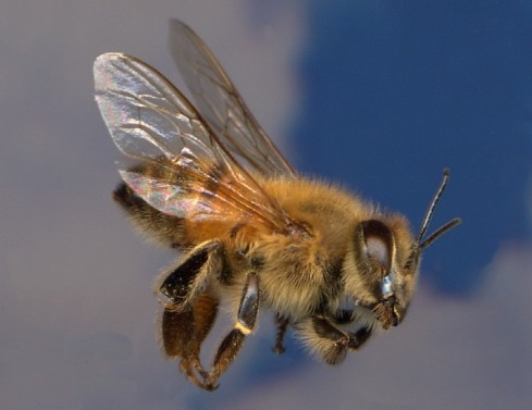 "Africanized ""friend"" bees?"