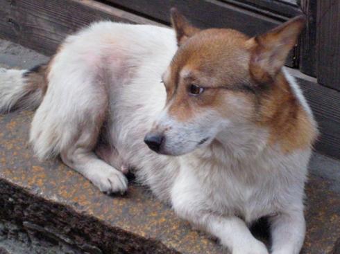 chinese_dog