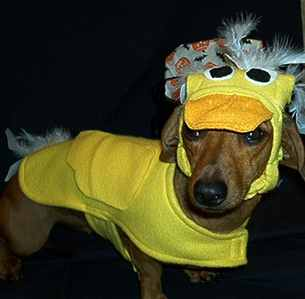 A cute wiener dog duck!