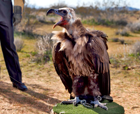Cinereous Vulture--photo by Esquire Magazine(really?)