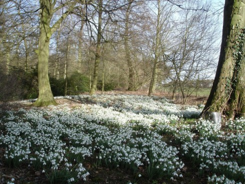 Snowdrops, Evenley Wood (Garden Photograph by Laure Ball)