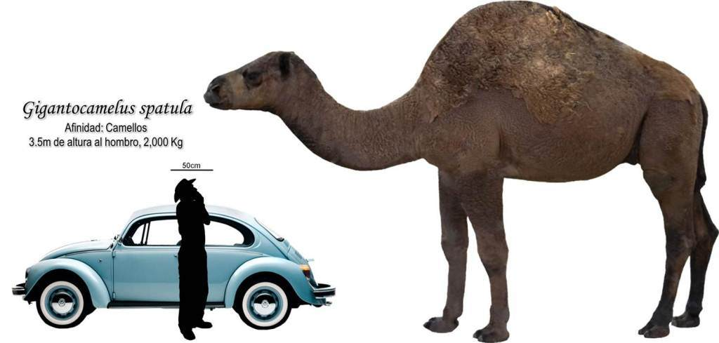 An illustration of the size of Gigantocamelus