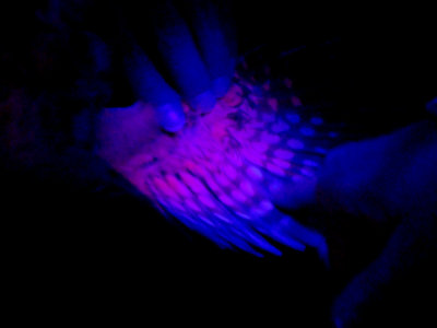 The wing of an owl to ultraviolet film