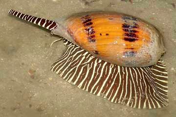 Melo melo snail (Melo melo)