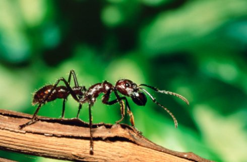 Did you know that bullet ants look just like ants.  In a moment that fact will horrify you. ( Photo: Getty Images/Peter Arnold)