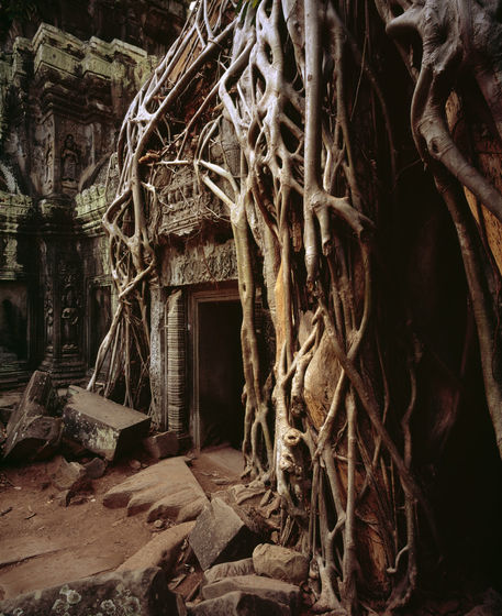 A Banyan tree (Ficus benghalensis) growing over a temple