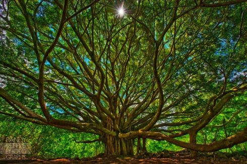 maui-hawaii-banyan-tree