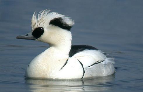 Smew Drake (Mergellus albellus) from http://birds-ath.blogspot.com
