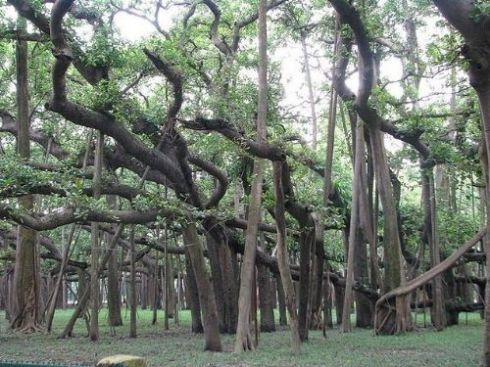 Thimmamma Marrimanu (one tree with many trunks)