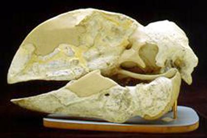 Fossil Bullockornis Skull