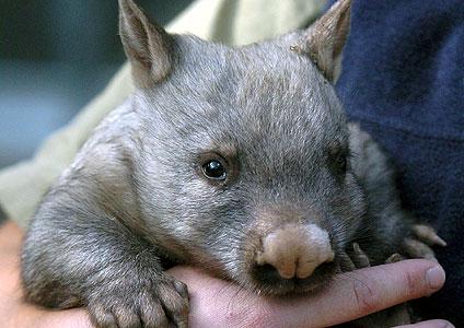 Hairy_nosed_wombat-424x300