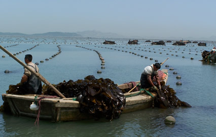 Kombu (Haidai) being cultivated along the Chinese coast