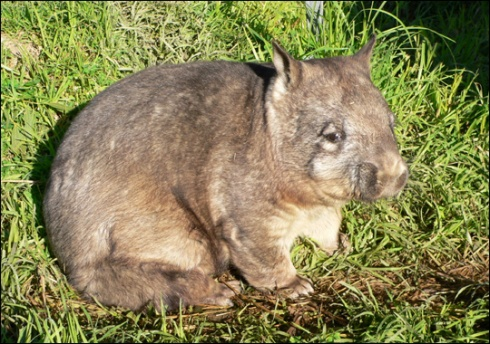 Northern Hairy-Nosed Wombat  (Lasiorhinus krefftii)