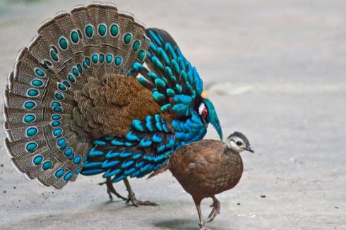 Palawan Peacock Pheasant (Polyplectron napoleonis) by Rene Lausberg