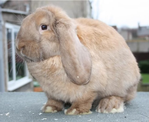 French Lop Domestic Rabbit