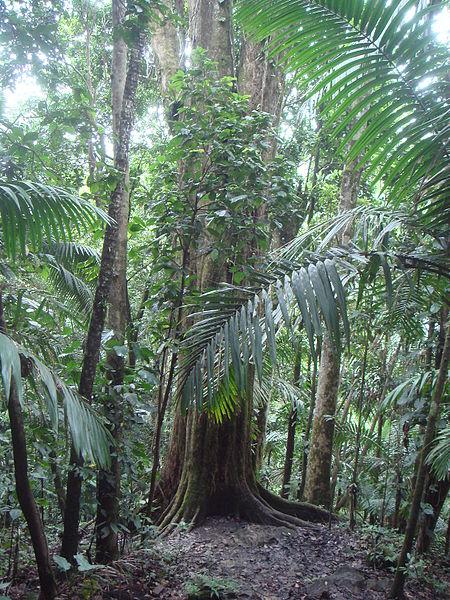 "Ausubo (Manilkara bidentata), the titular big tree of ""Big Tree"" trail in El Yunque (photo by Xemenendura)"