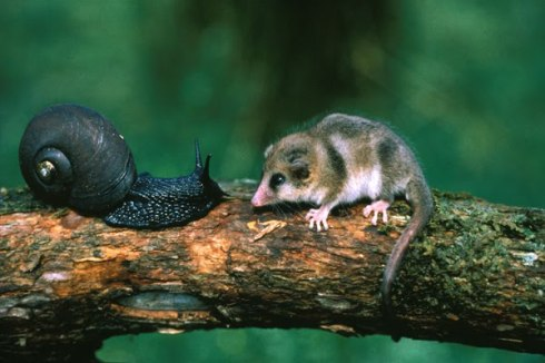 Monito del monte (Dromiciops gliroides) with tree snail