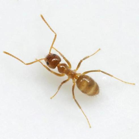 Crazy Ant (Nylanderia fulva)
