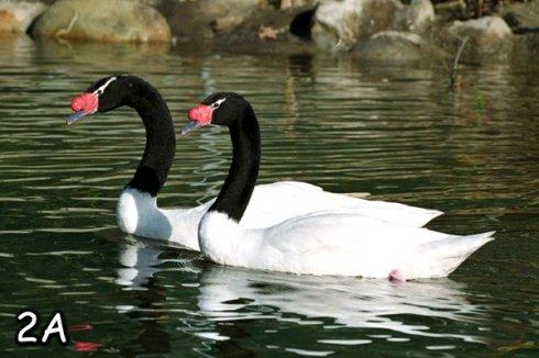 The Black-necked Swan (Cygnus melancoryphus)