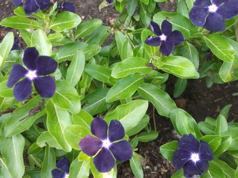 "Vinca ""Jams 'N Jellies Blackberry"" (that doesn't get easier to write)"