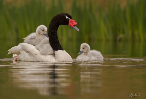 The Black-necked Swan (Cygnus melancoryphus)
