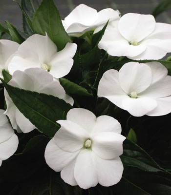 New guinea impatiens are so pretty!