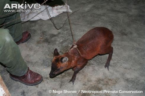A Northern Pudu (Pudu mephistophiles) with a small human for scale (photo by Noga Shanee)