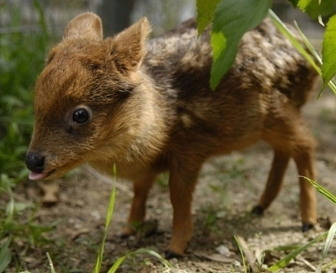 One month old pudú fawn