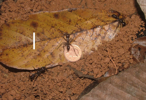 Paraponera clavata (the coin is for scale--they are not grubbing for money)