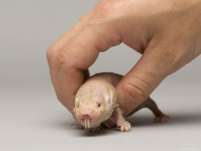 The Naked Mole Rat - Reed College
