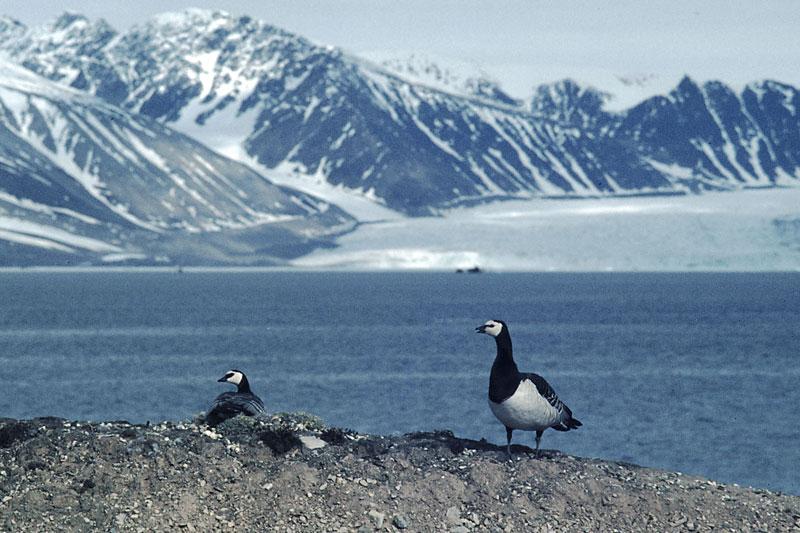Barnacle geese (Branta leucopsis) on Svalbard