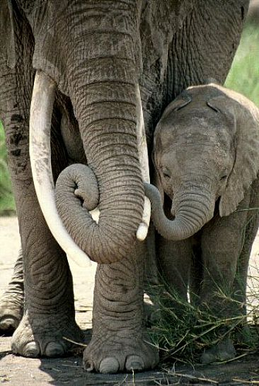 Elephant Mother & Calf (photo by Douglas Aja)