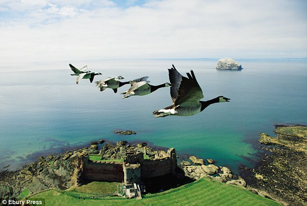 Barnacle geese flying over Tantallon Castle, Scotland (photo by John Downer for ebury press)