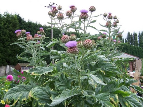The Wild Cardoon (Cynara cardunculus)