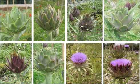 Cynara4_artichokeXwildcardoon_offspring