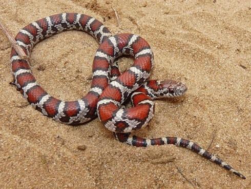 Eastern-Milk-Snake-Lampropeltis-triangulum-triangulum-700x527