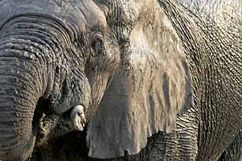 elephant_hnp-1752ss