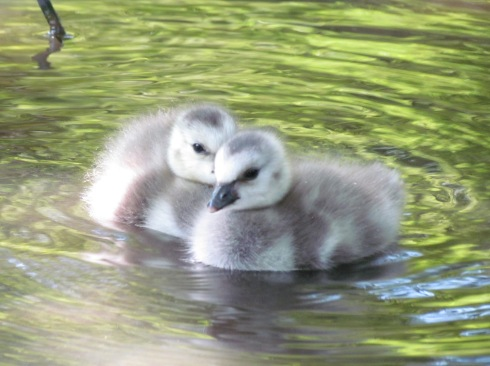 Barnacle Goose Goslings from duckoftheday.co.uk