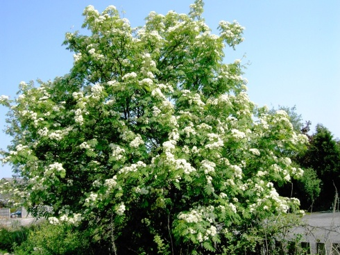 Rowan tree in bloom