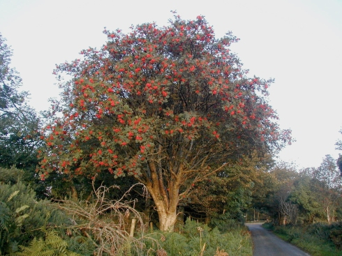 A Rowan Tree (Sorbus aucuparia) beside a road in Ireland