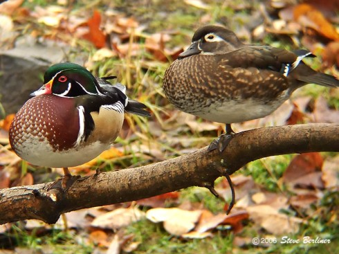 A Male and Female Wood Duck (Aix sponsa)