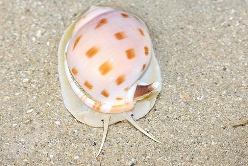 Japanese Bonnet Snail (Phalium/Semicassis bisulcata)