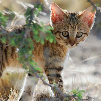 African wildcat kitten