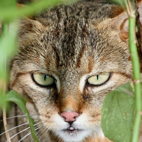 African wildcat close-up
