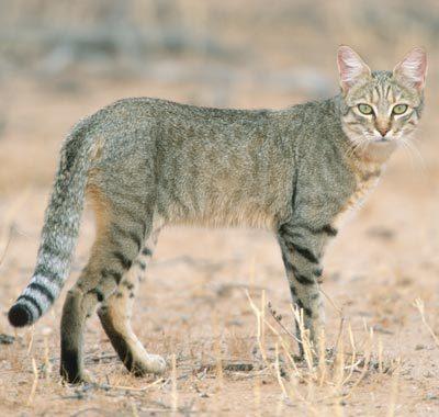 [Image: african-wildcat.jpg]