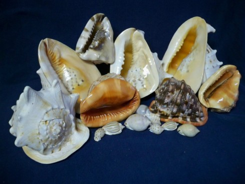 Shells from the Cassidae family (from OuterBanksShells.com)