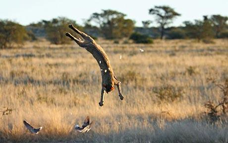 An African wildcat executes an insane flip while hunting doves